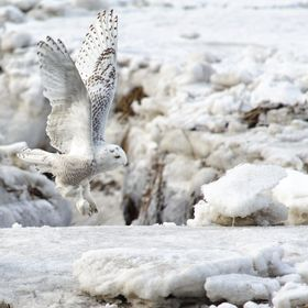 """Silent Departure""  While photographing a lone Snowy Owl on the seacoast in Massachusetts, another descended silently onto the marsh ... and ..."