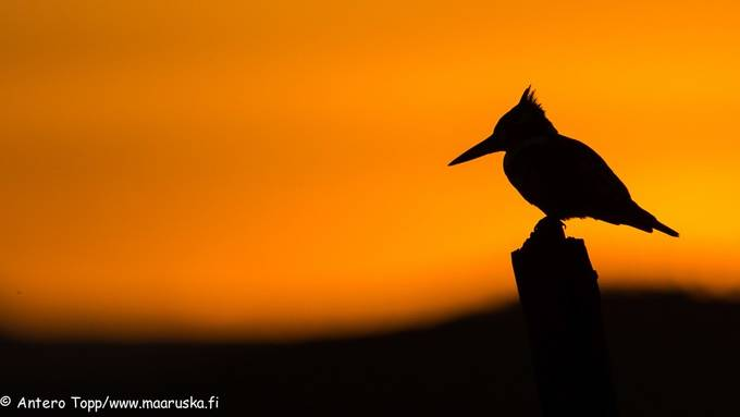 pied kingfisher by anterotopp amazing silhouettes photo contest