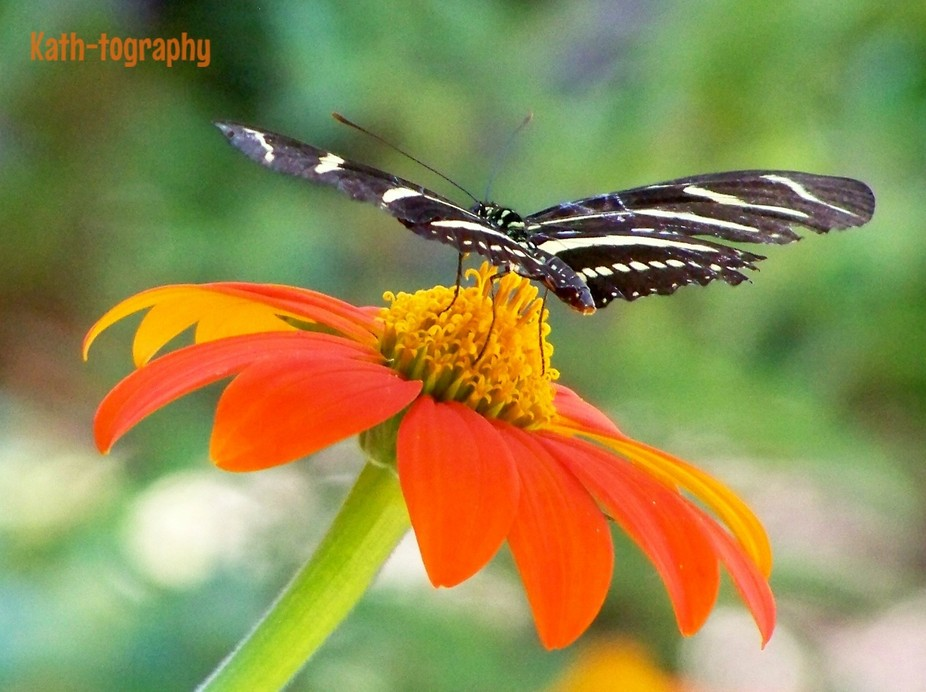 A Zebra Longwing butterfly gathers nectar from a Mexican Sunflower
