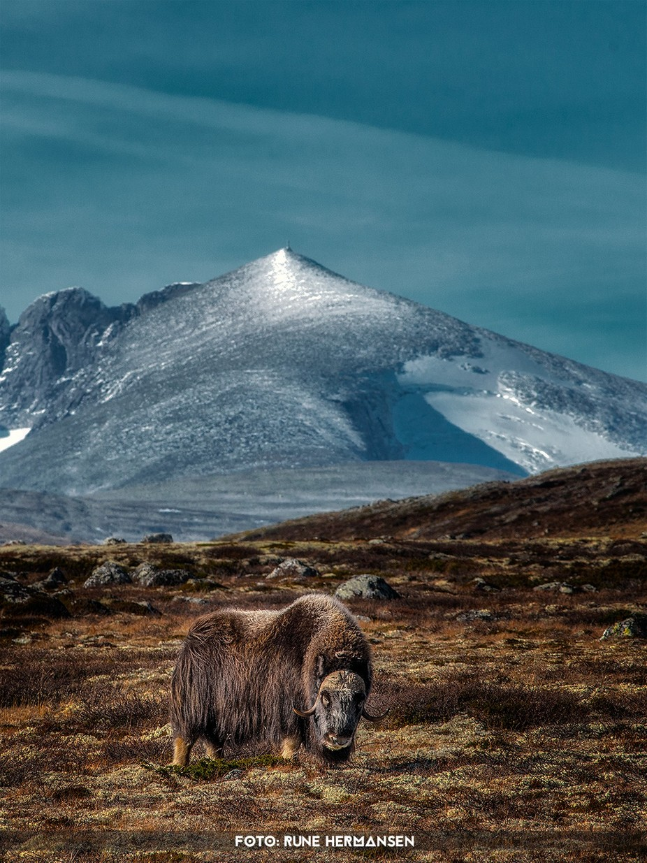 Muskox-Dovrefjell, Norway by RuneHermansen - Celebrating Earth Day Photo Contest 2019