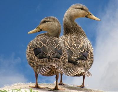 Florida Mottled Ducks