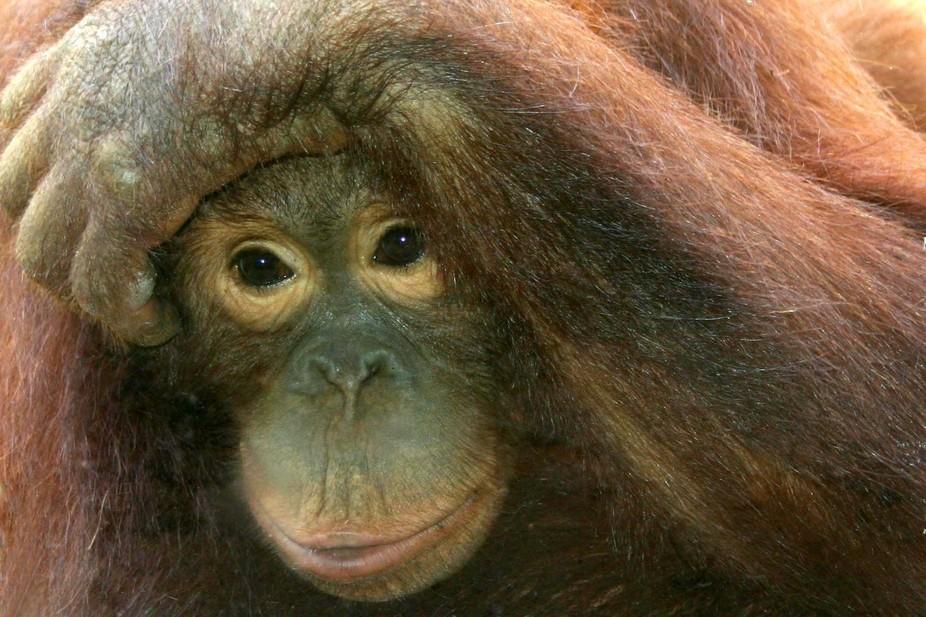Orangutan, Jkt Zoo,