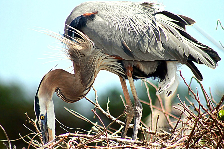 Heron tidying the nest.