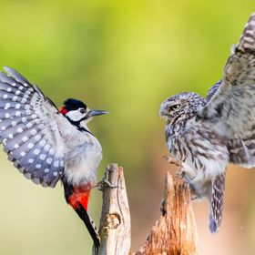 A Little Owl and a Great Spotted Woodpecker face it off for a feeding location.  http://www.facebook.com/iesphotography http://www.viewbug.com/ie...