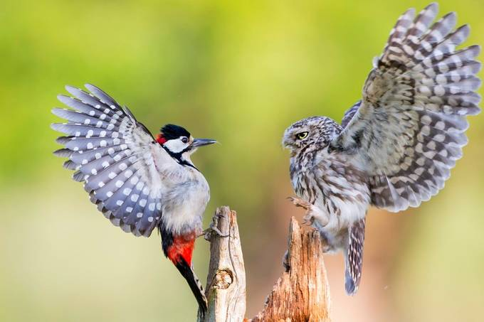 Owl and a Woodpecker by iesphotos - My Best Shot Photo Contest Vol 2