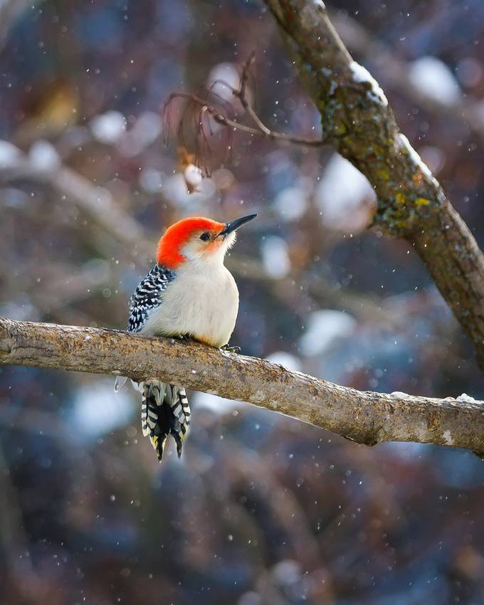 Red bellied woodpecker by Cbries - Snowflakes Photo Contest
