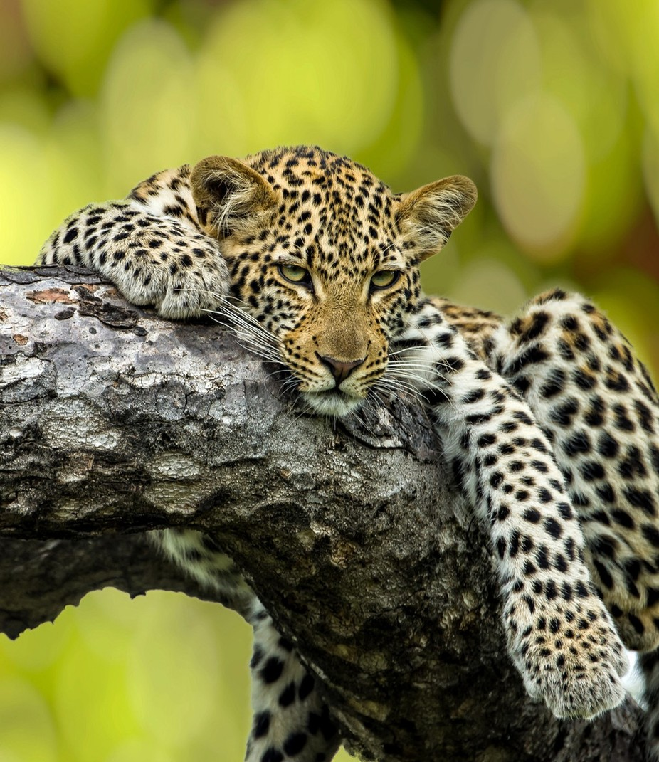 Leopard in a Tree by JDay - Explore Africa Photo Contest