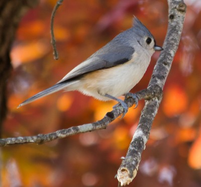 Titmouse in Tree 2