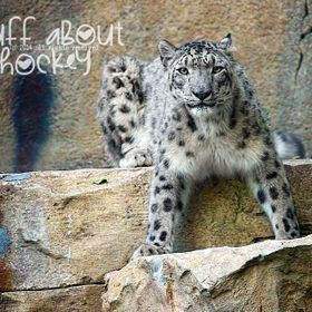 Amur Snow Leopard - Philadelphia Zoo   |  Although my mom was with me when I shot this, I've had to explain to her a few times that Amur SNO...