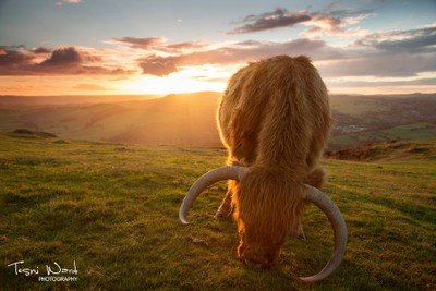 Cattle Sunset
