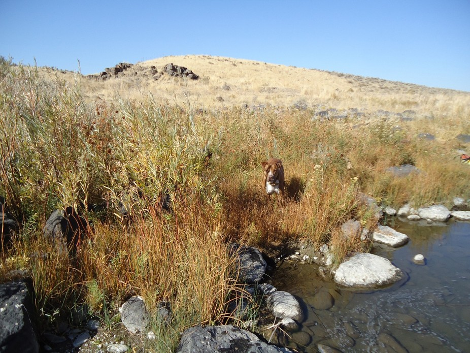 My dog standing in the weeds by the Owayee River in Oregon, while I try my hand at fishing it.