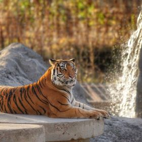 A rescued Tiger at The Wild Animal Sanctuary in Keenesburg, CO.