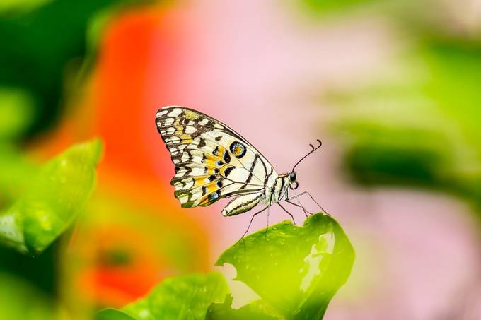 Lime Butterfly by SeowSweeMeng - Beautiful Butterflies Photo Contest