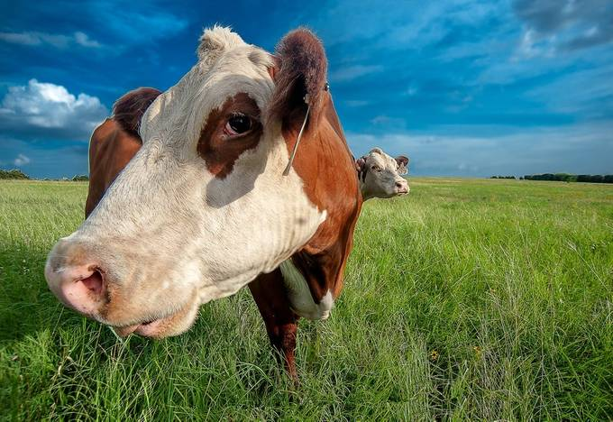 Cows-2-2 by dscham - Clever Angles Photo Contest