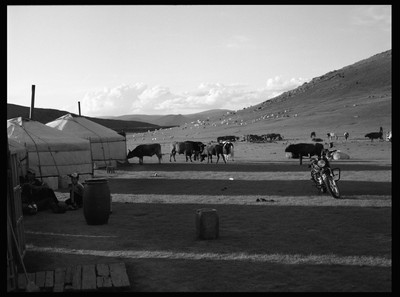 Cattle in Mongolia
