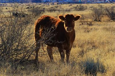 Desert Calf