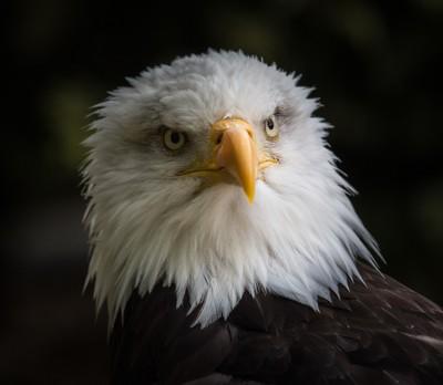 American Bald Eagle-6814