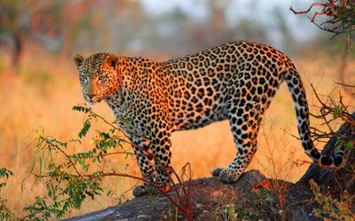 A juvenile male leopard
