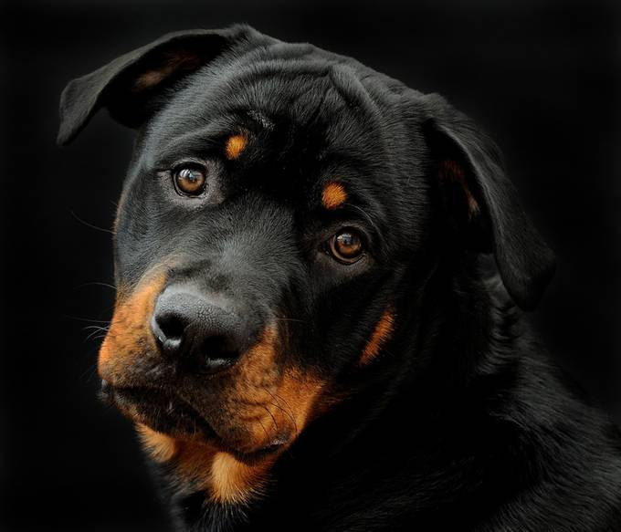 Rottweiler Portrait by MarieLianne68 - Kittens vs Puppies Photo Contest