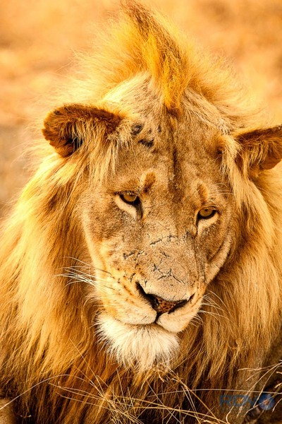 Young Male Lion with Battle Scars & Mowhawk