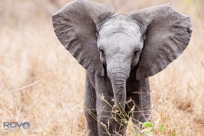 Little African Elephant