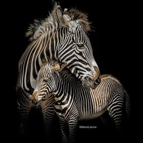 Grevy's Zebra mother and baby.  Black background achieved in camera..  some selective burn was used (around the bottom edge) in PS to enhance the...