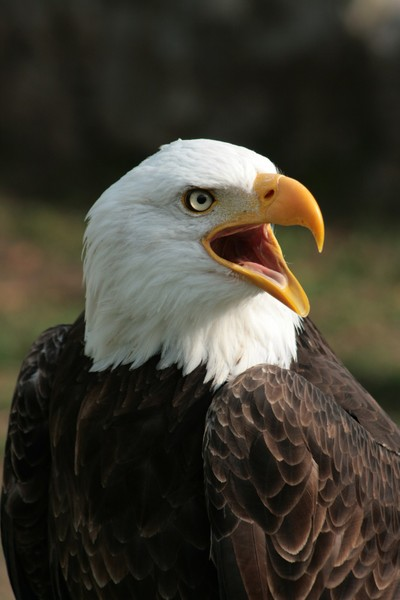 Male Bald Eagle Chirping