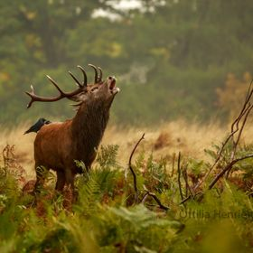 Bellowing Autumn Stag