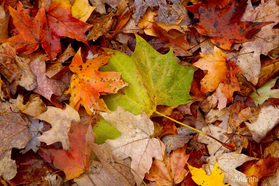 A mixture of colorful leaves that have fallen after a storm. From green to brown, the summer mixe...