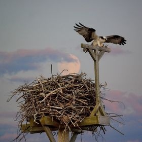 Osprey_Arrives_20140809-193835-20140414-190413