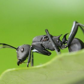 a ant look like a soldier.
