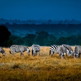Field of Feeding Zebra Kenya, Africa