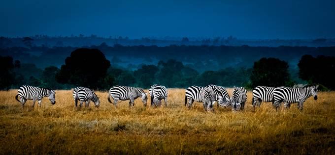 Field of Feeding Zebra by jimdelillo - More Of The Same Photo Contest