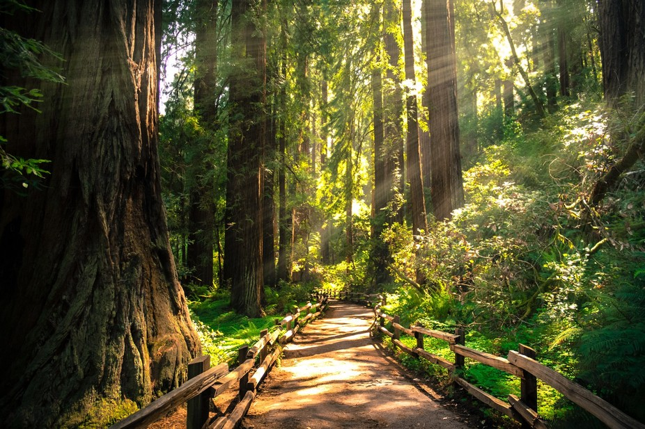 Peaceful walk through Muir Woods Park in California.