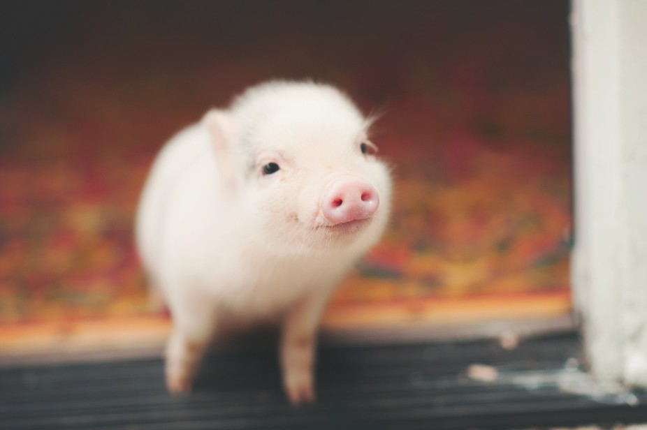 Gilbert the pig