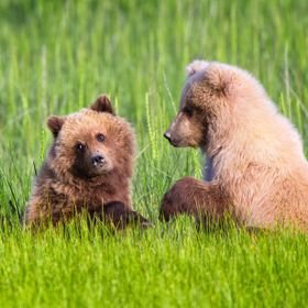 Two yearling brown bear cubs play in the tall grass after a long winter's nap in the Lake Clark region of Alaska.