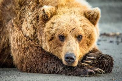 Cozy as a Bear