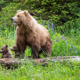 Two yearling cubs and their massive mother awake abruptly after a nap among wildflowers in the Lake Clark region of Alaska.