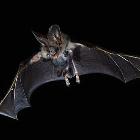 a bat mama go with her baby on a trip. i shot this with the eltima joker 2 light barrier.
