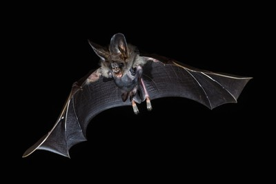 Bat Mama