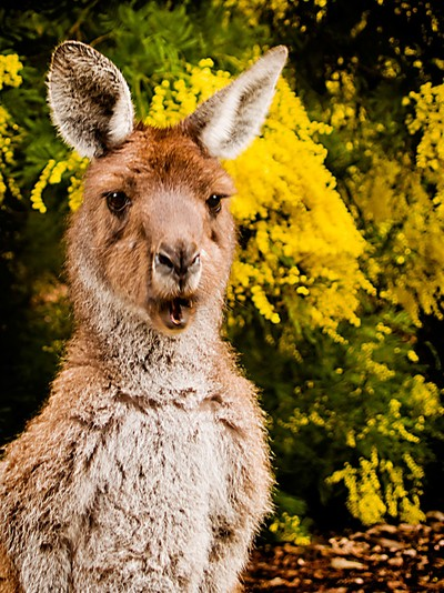 Kangaroo and Wattle