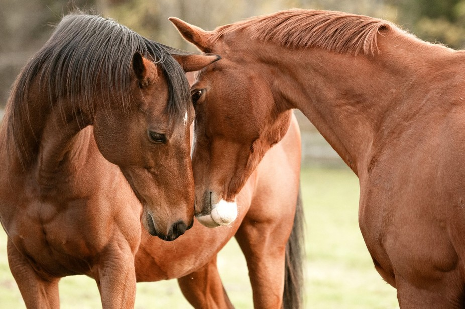 My chestnut thoroughbred mare Grace shares an intimate moment with her pasture mate Denali. Grace...