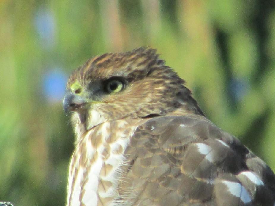 Gorgeous photo of Cooper\'s Hawk profile.
