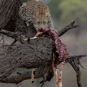Dinner for One Young male Leopard with his prize,he did get a visit from the resident Hyena's whilst feeding