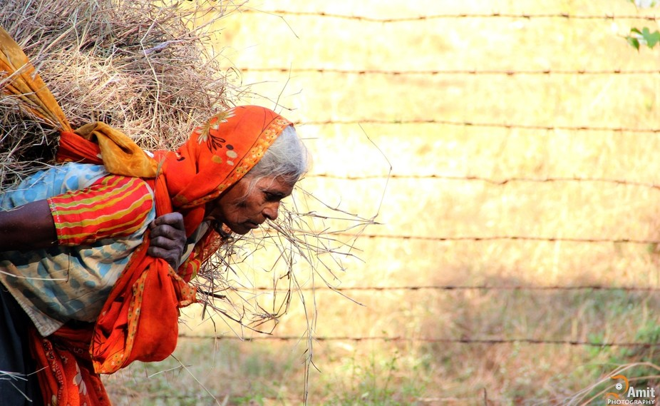its all about food- a old lady bring grass and wooden on her shoulder for cooking food ...  in In...