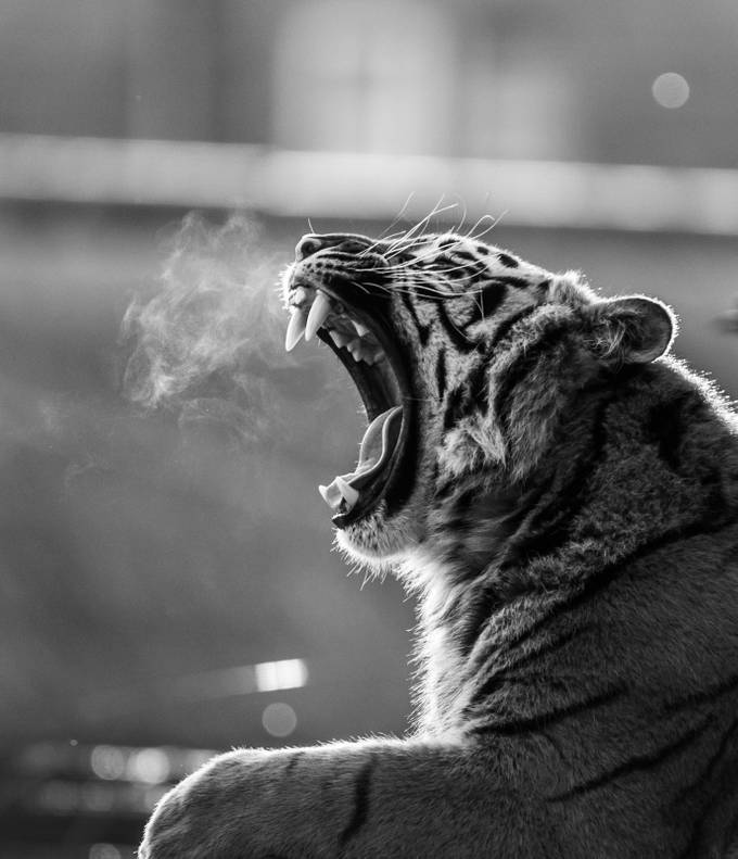 Tiger breath by DPMPhotography