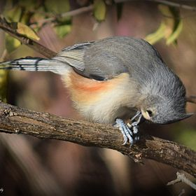 This Tufted Titmouse appears to be bowing as I took several pictures of the bird. But, if you look closely you will see it is actually holding a ...
