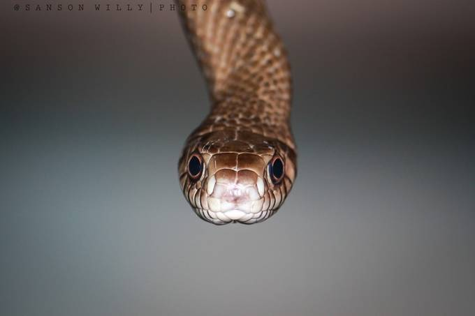 I see you !!! by willysanson - Snakes Photo Contest