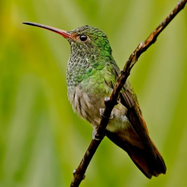 A Amazalia Hummingbird Takes a Short Break.