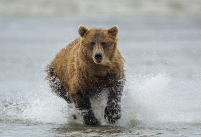 Brown Bear_73A0949